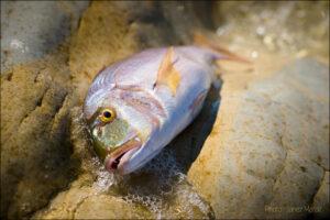 Jadranski zobatec na obali - fotografija sveže hrane - foto: Janez Marolt